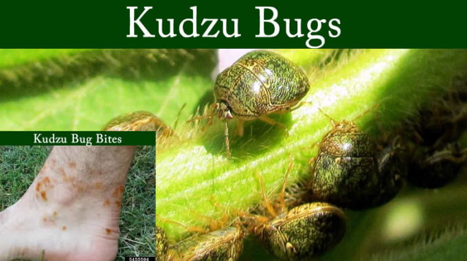 Kudzu Bug Columbus Ga Treatment