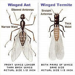 Flying Ant Or Termite Swarmer